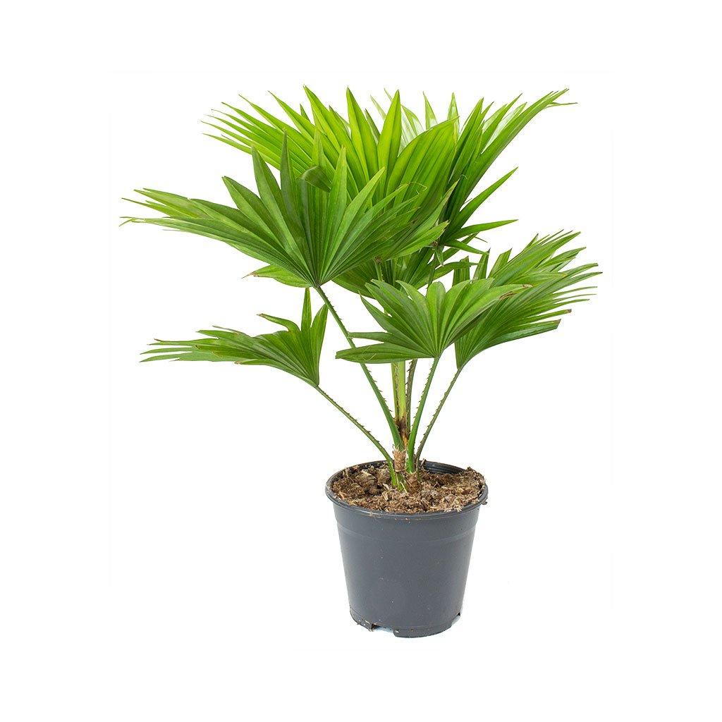 Livistona rotundifolia Footstool Palm Plants, Indoor