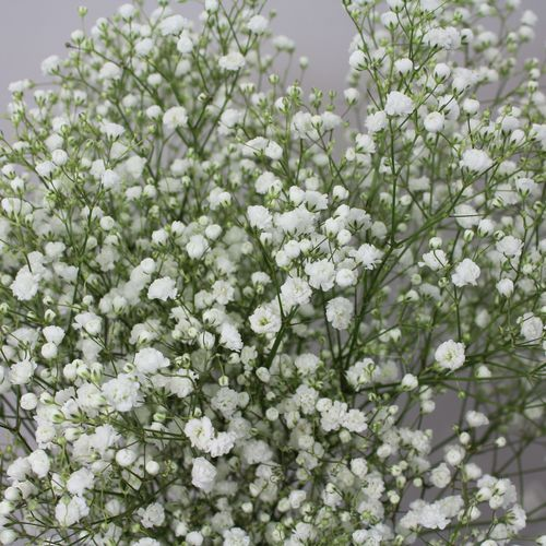Gypsophila Xlence Baby S Breath 20 For A Large Bunch Fills Out Bouquets Nicely So U Need Less Expe Expensive Flowers Babys Breath Wedding Flowers White Roses