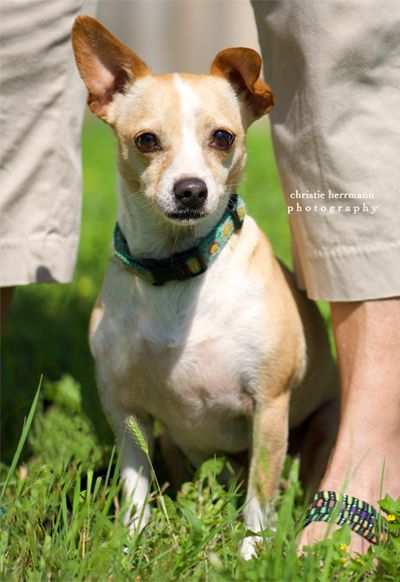 Jack Chi Dog For Adoption In San Antonio Tx Adn 408030 On