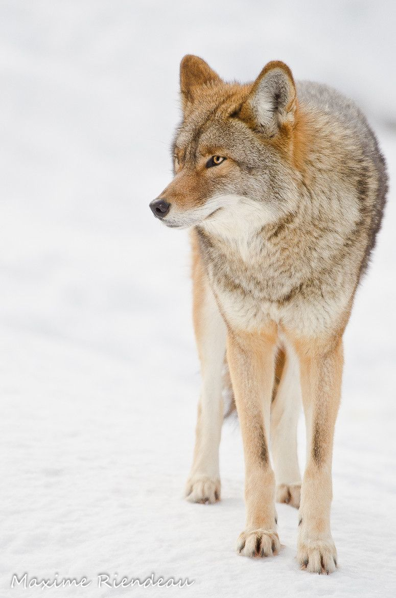 The Pennsylvania Game Commission says coyotes have been