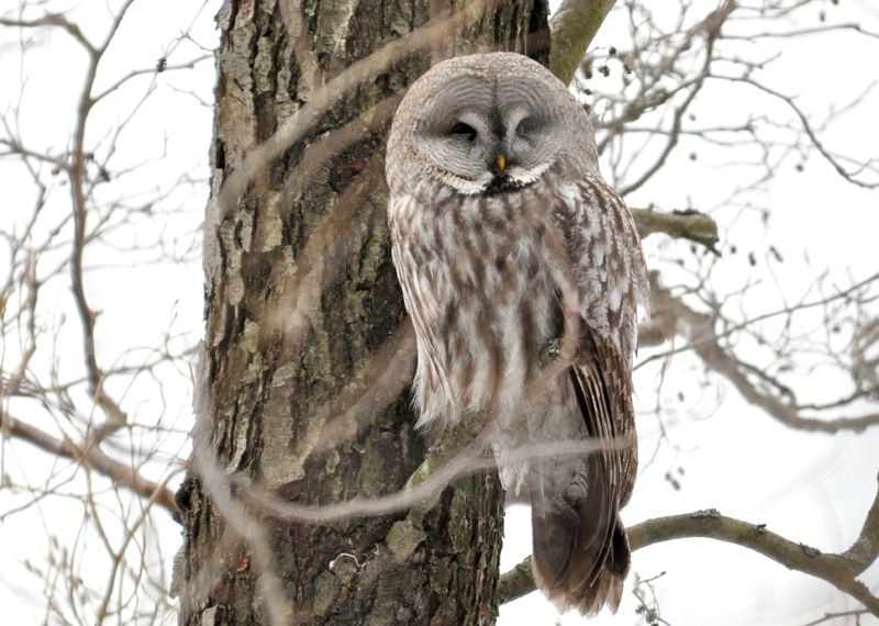 Taking a nap (Great grey owl) #owl