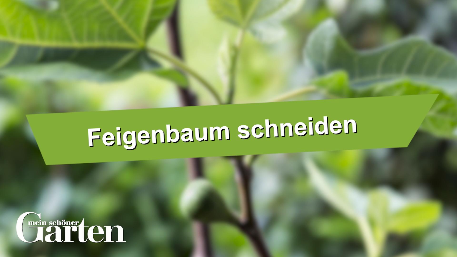 Feigenbaum Schneiden So Machen Es Die Profis Video Video Feigenbaum Feigen Garden Types