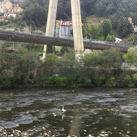 Pato en el río Nalón