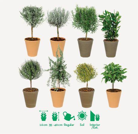 Decora tu hogar con estos elegantes arbustos de planta aromática en ...