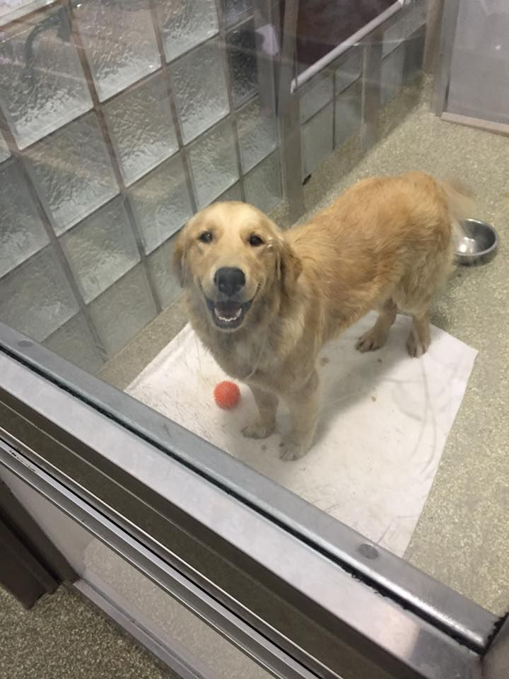 Golden Retriever Rescued From Dog Meat Farm Now Happier Than Ever