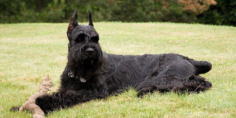 13 Big Dogs That Don T Shed Large Non Shedding Dog Breeds Giant Schnauzer Guard Dog Breeds Dog Breeds That Dont Shed