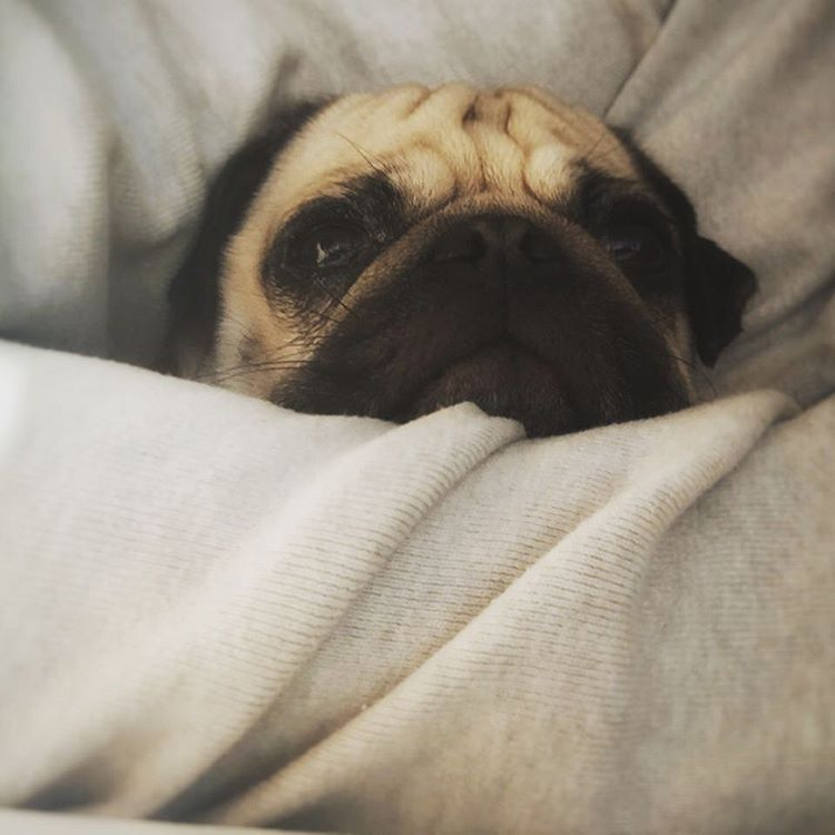 I love lazy mondays   What are u planing today?... - Mops Konrad