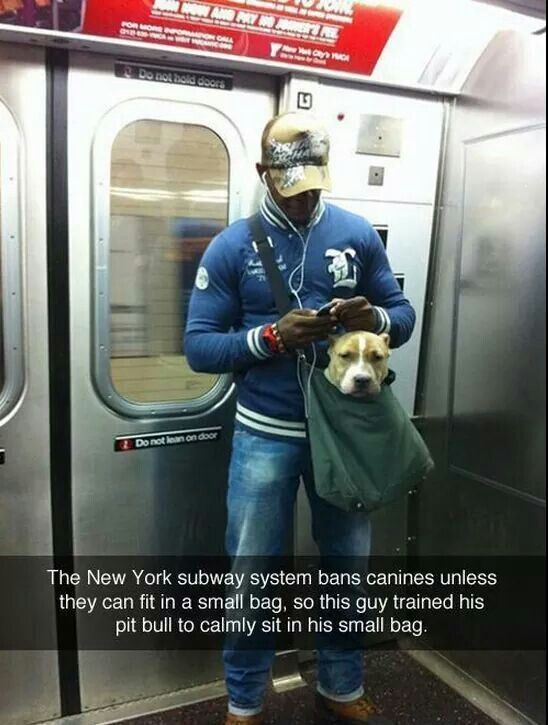 Pit Bull In A Small Bag On NY Subway Pit Bull Pics Pinterest - Nyc subway bans dogs unless fit bag new yorkers reacted