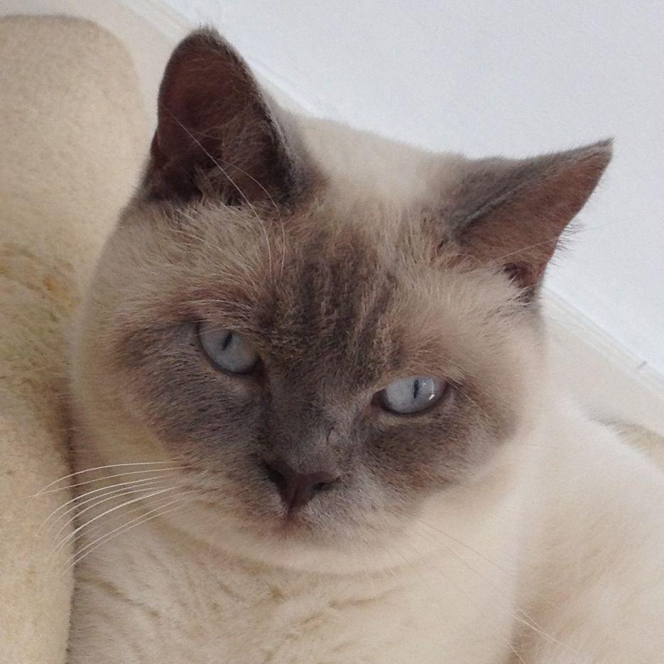 British shorthair lilac point | British shorthair cats ...