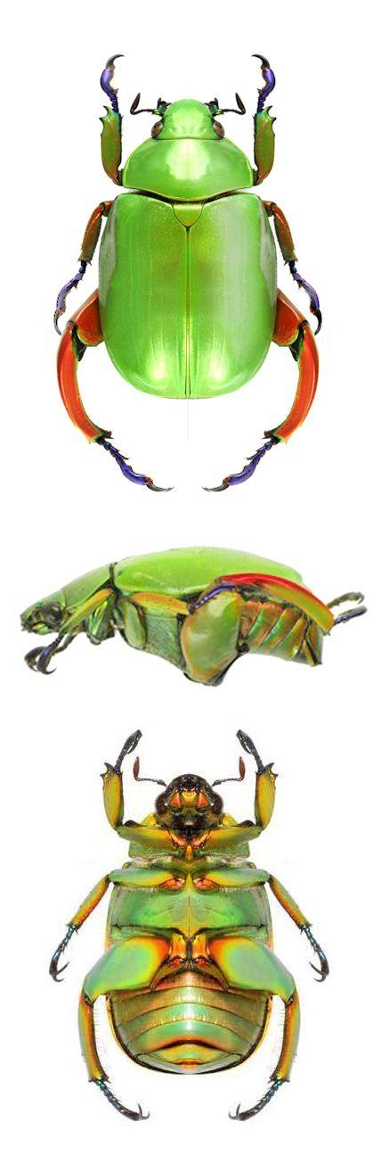 Chrysina Macropus Insekten Tiere Falter