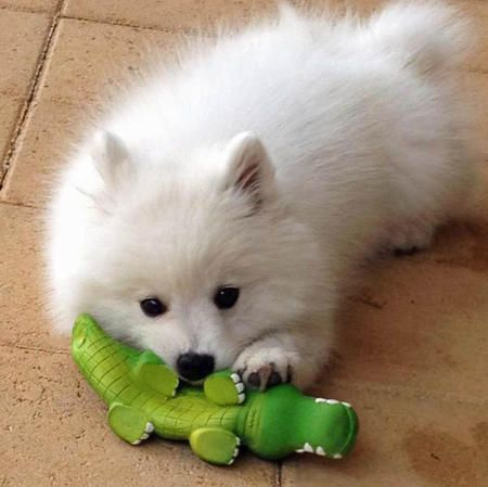 So Cute And I Guess It S So Soft Dogs Lovely Japanese Spitz