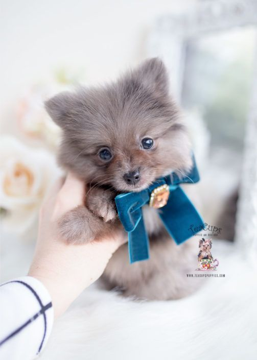 silver-merle-pomeranian-puppy-for-sale-teacup-puppies-084-d #cuteteacuppuppies silver-merle-pomeranian-puppy-for-sale-teacup-puppies-084-d #cuteteacuppuppies silver-merle-pomeranian-puppy-for-sale-teacup-puppies-084-d #cuteteacuppuppies silver-merle-pomeranian-puppy-for-sale-teacup-puppies-084-d #cuteteacuppuppies silver-merle-pomeranian-puppy-for-sale-teacup-puppies-084-d #cuteteacuppuppies silver-merle-pomeranian-puppy-for-sale-teacup-puppies-084-d #cuteteacuppuppies silver-merle-pomeranian-pu #cuteteacuppuppies