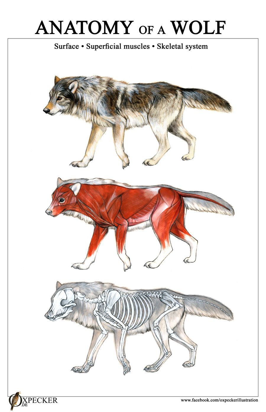 Anatomy of a Wolf by oxpecker | rxc | Pinterest | Anatomía animal ...