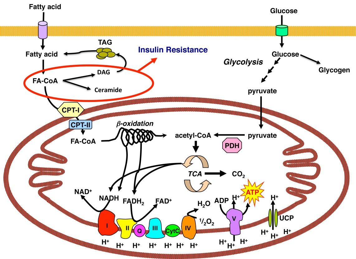 Mitochondrial Metabolism And Insulin Action