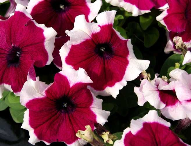 new petunias and calibrachoas for 2018 from california spring trials surfinia a petunie. Black Bedroom Furniture Sets. Home Design Ideas