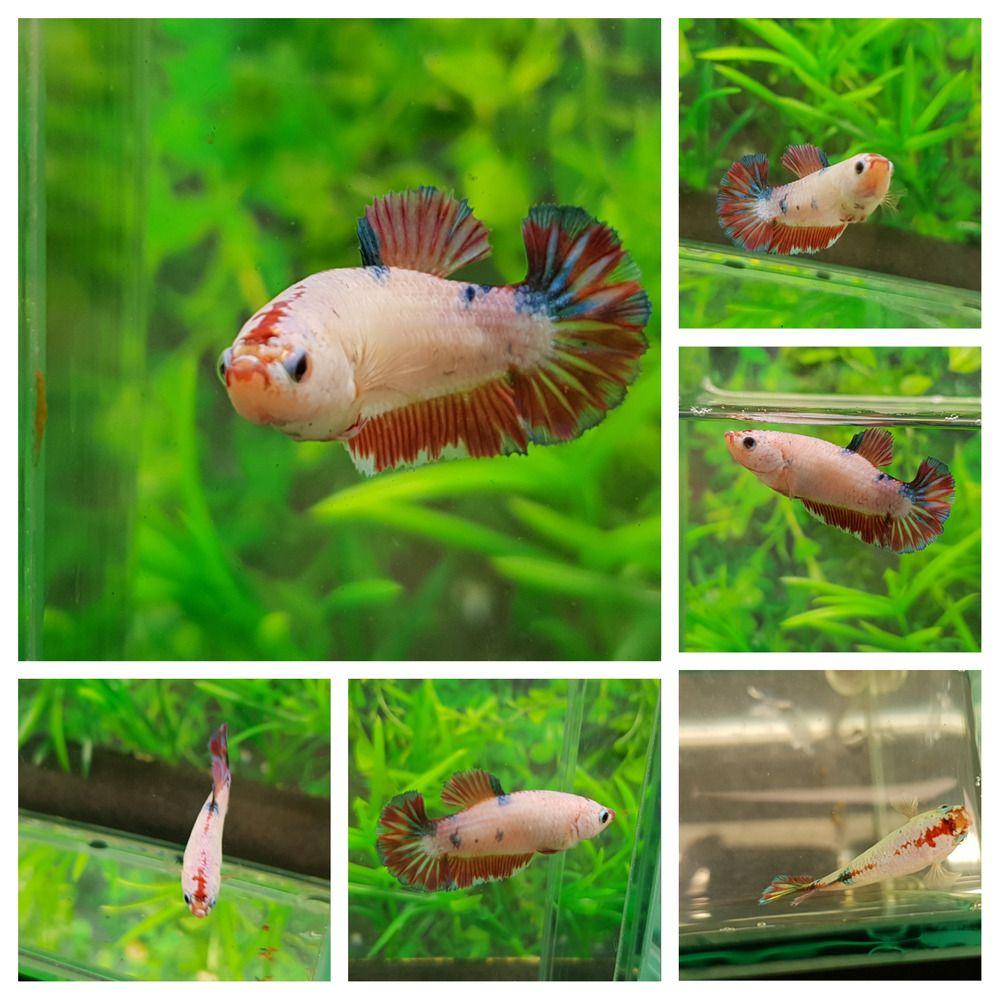 Betta Fish Betta Fish Ideas Bettafish Fishbetta Live Betta Fish Dragon Marble Purple Red So Cute Halfmoon Plakat Female D27 29 99 Betta Fish Betta Fish