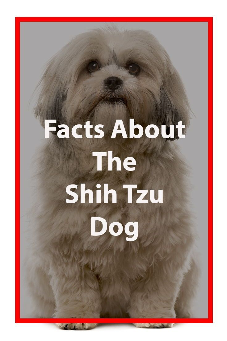 Shih Tzu Breed Information Shihtzu