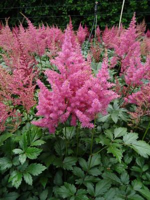 Sem False Spirea Google Search Spirea Plant Plant Care Spirea