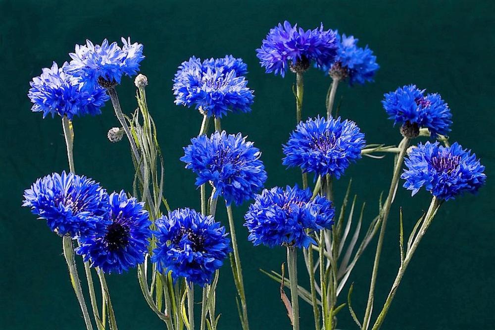 1000 Dwarf Blue Bachelors Button Cornflower Flower Seeds Etsy Flower Seeds Flowers Blue Plants