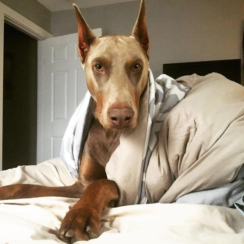 Pin By Rachel Hurtado On Dogs In 2020 Doberman Colors Doberman Dogs Pound Puppies