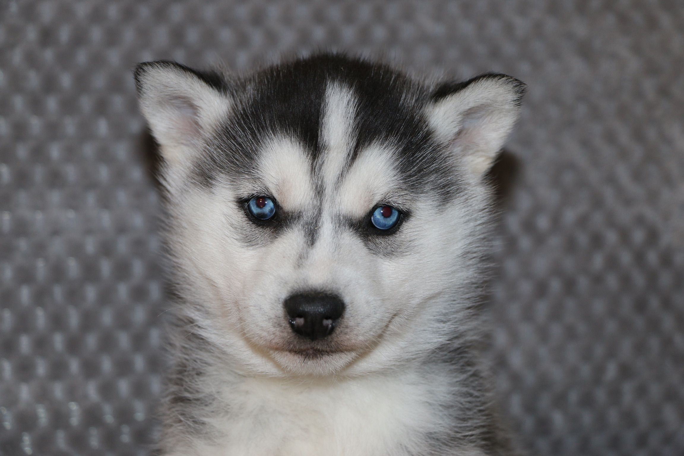 Laden A Playful Male Akc Siberian Husky Puppy From Indiana Find