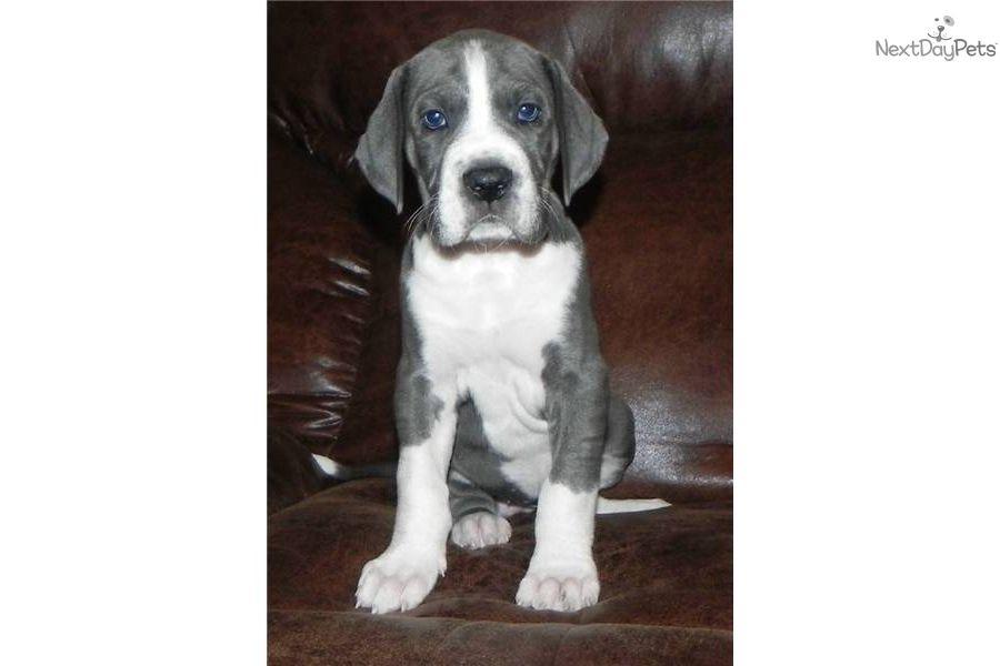 Sparkles Great Dane Puppy For Sale Near Atlanta Georgia