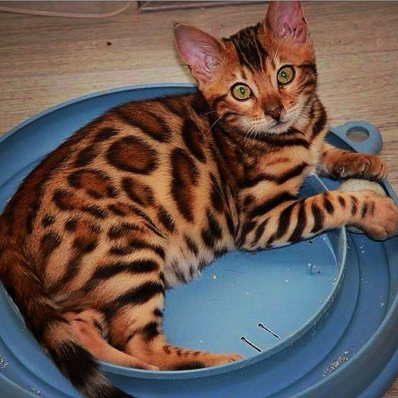 Did this Bengal cat just take the trophy for the most