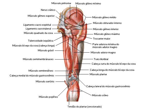 Aula de Anatomia | Músculos da Coxa | Anatomia - estudos | Pinterest ...