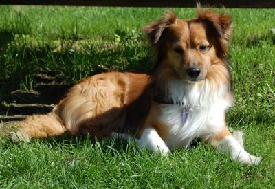The Pembroke Sheltie Is A Cross Between The Shetland Sheepdog And