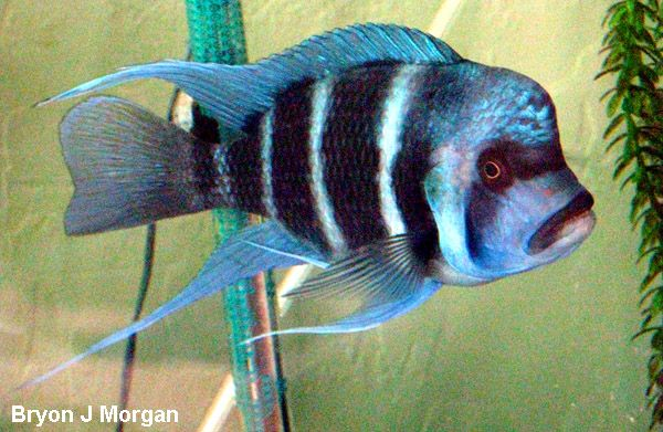 Cyphotilapia Frontosa Kipili Blue African Cichlids Cool Fish Cichlids