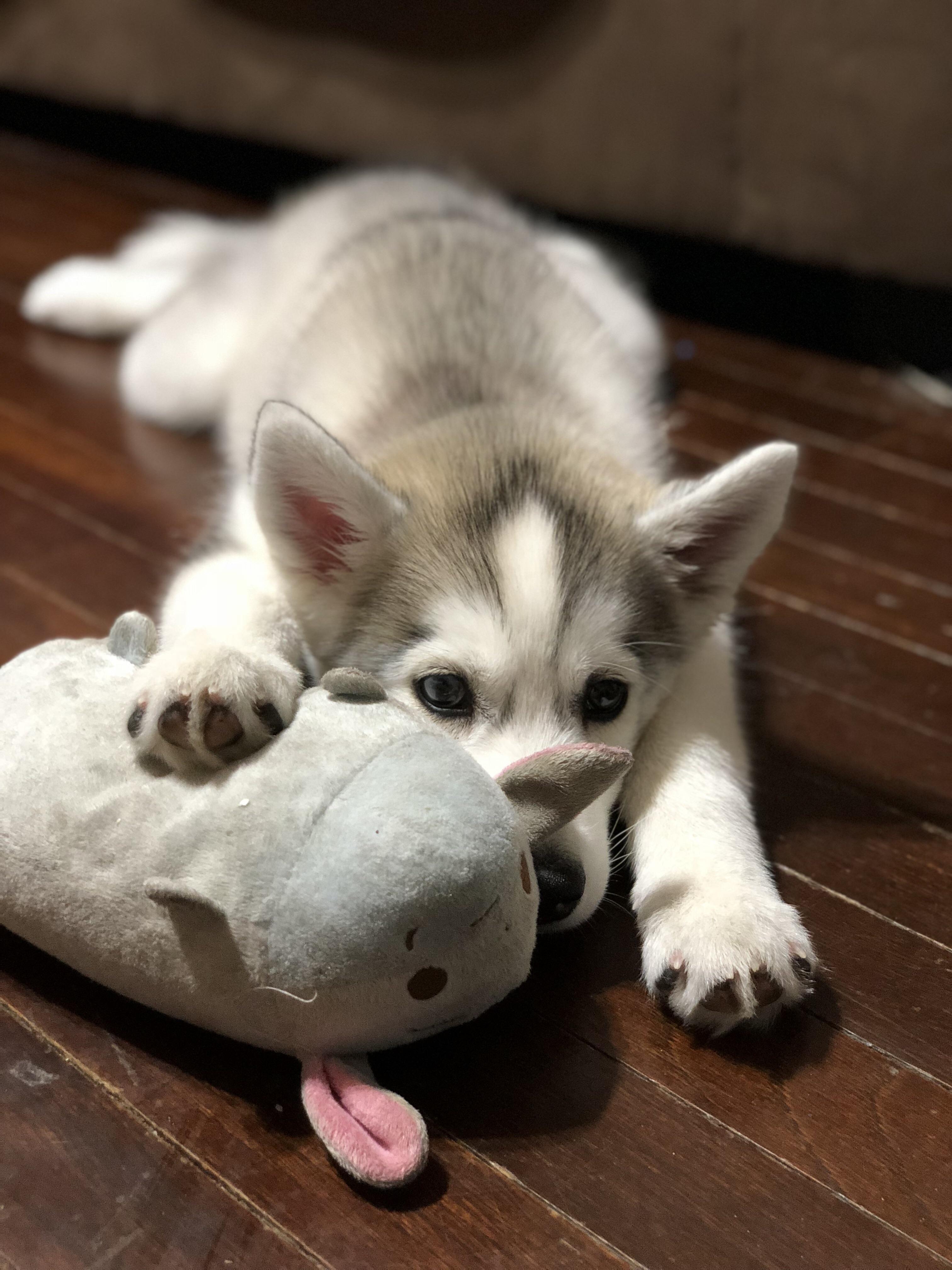 Reddit Meet My Husky Puppy Daisy We Own Dis Now Http Ift Tt