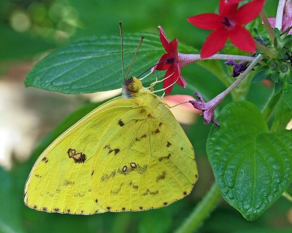 Cloudless Sulphur Phoebis sennae  © James Laurie Cloudless Sulphurs prefer red and pink flowers to nectar on. Their caterpillars feed on Senna and Cassia sp. Male sulphurs butterflies have a very agreeable perfume scent produced by androconial scales on the forewings. They will occasionally migrate north from the tropics and end up as strays here in the Dallas area.