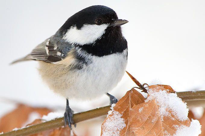 Wintervögel bestimmen Meisen im Vergleich - NABU