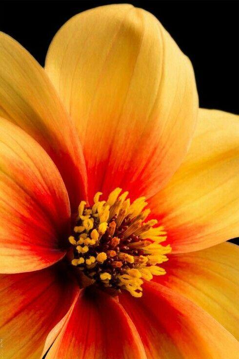 Dahlia macro by EncroVision