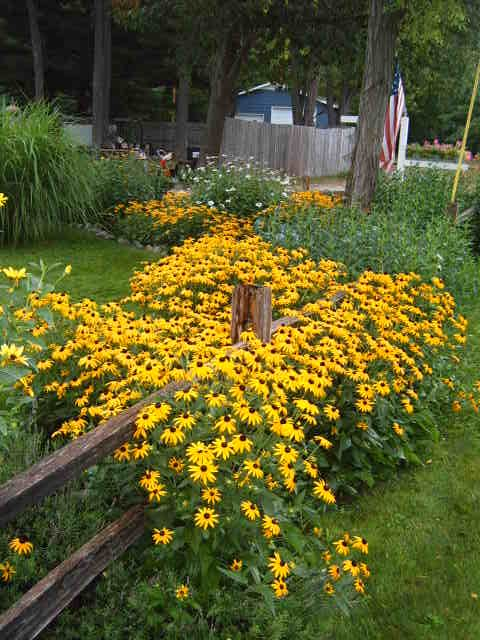 Black eyed susans at their best they are perennials come back black eyed susans at their best they are perennials come back every mightylinksfo