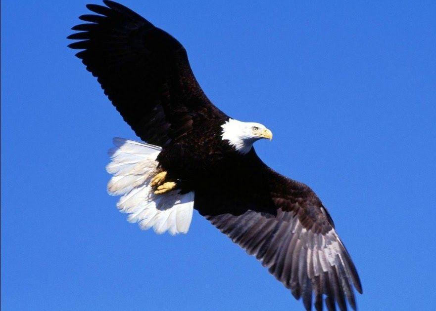 30 Gambar Elang Jawa Kartun Ekor Putih Eagle Adler Mereka Memang Telah Terbiasa Menggunakan Internet Di Hp Untuk Mencari In Gambar Burung Burung Elang Burung