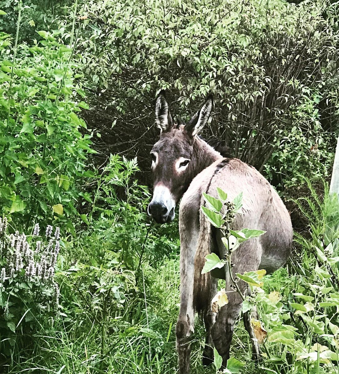 Is Donkey Manure Good For Gardens