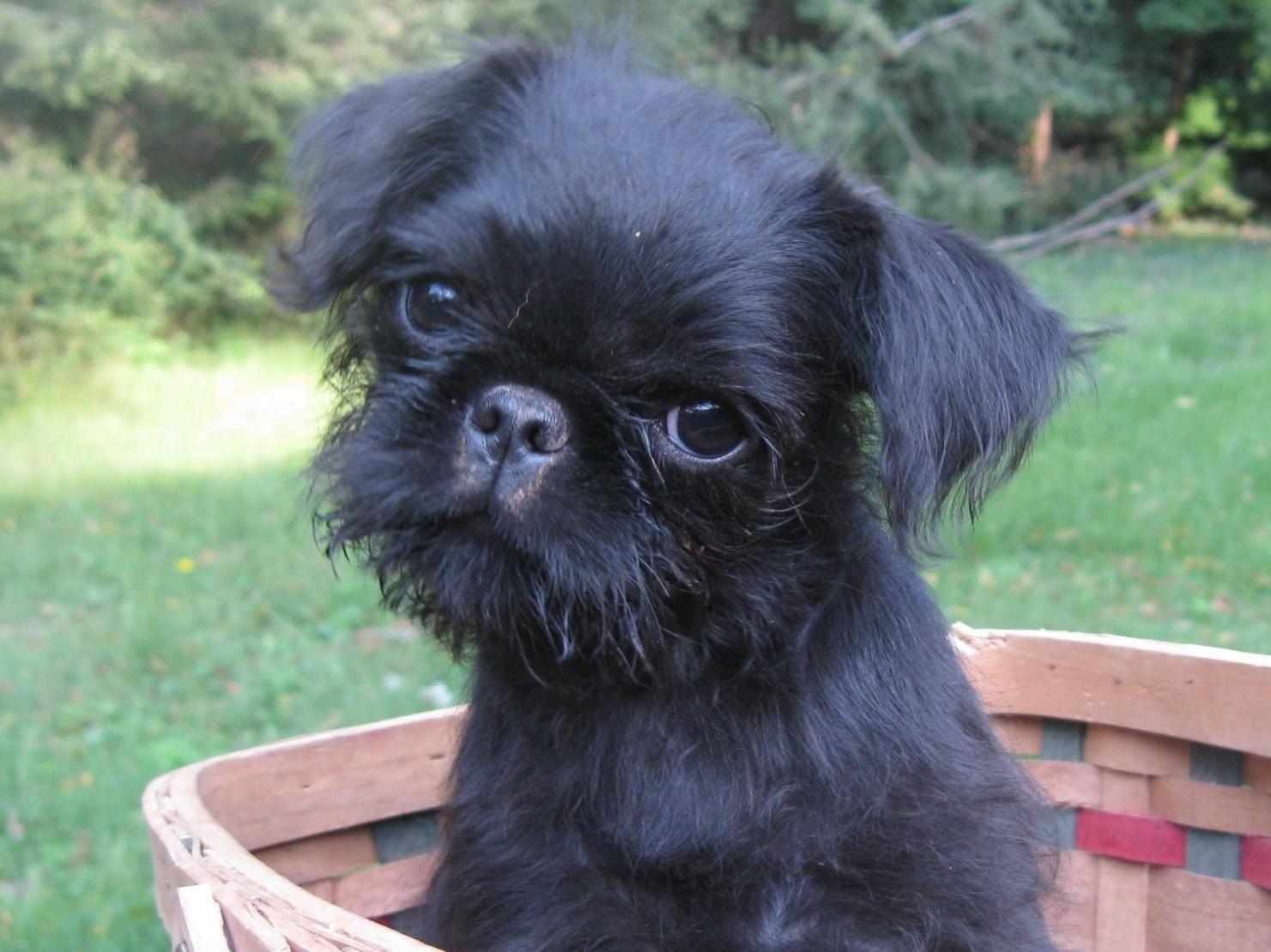 Black Brussels Griffon puppy in a basket Brussels