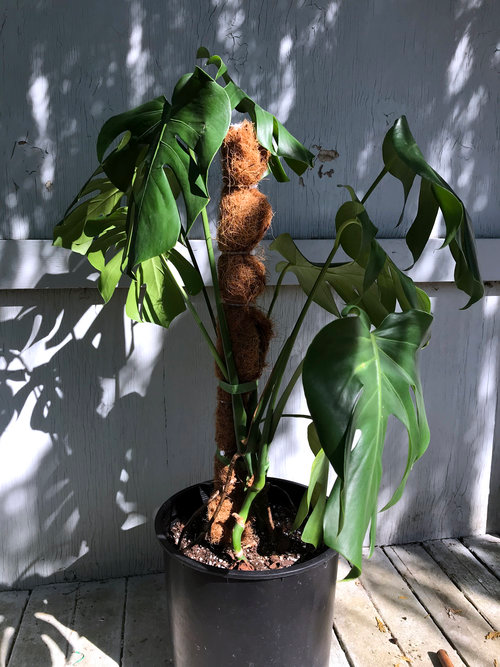 Moss Pole Tutorial Tacoma Houseplant Club In 2020 House Plants Plants Spathiphyllum