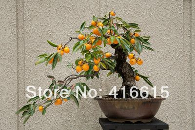 50-Chinese-font-b-Persimmon-b-font-Seeds-Diospyros-Kaki-Exotic-Bonsai-Fruit-Tree-Suitable-For.jpg (400×266)