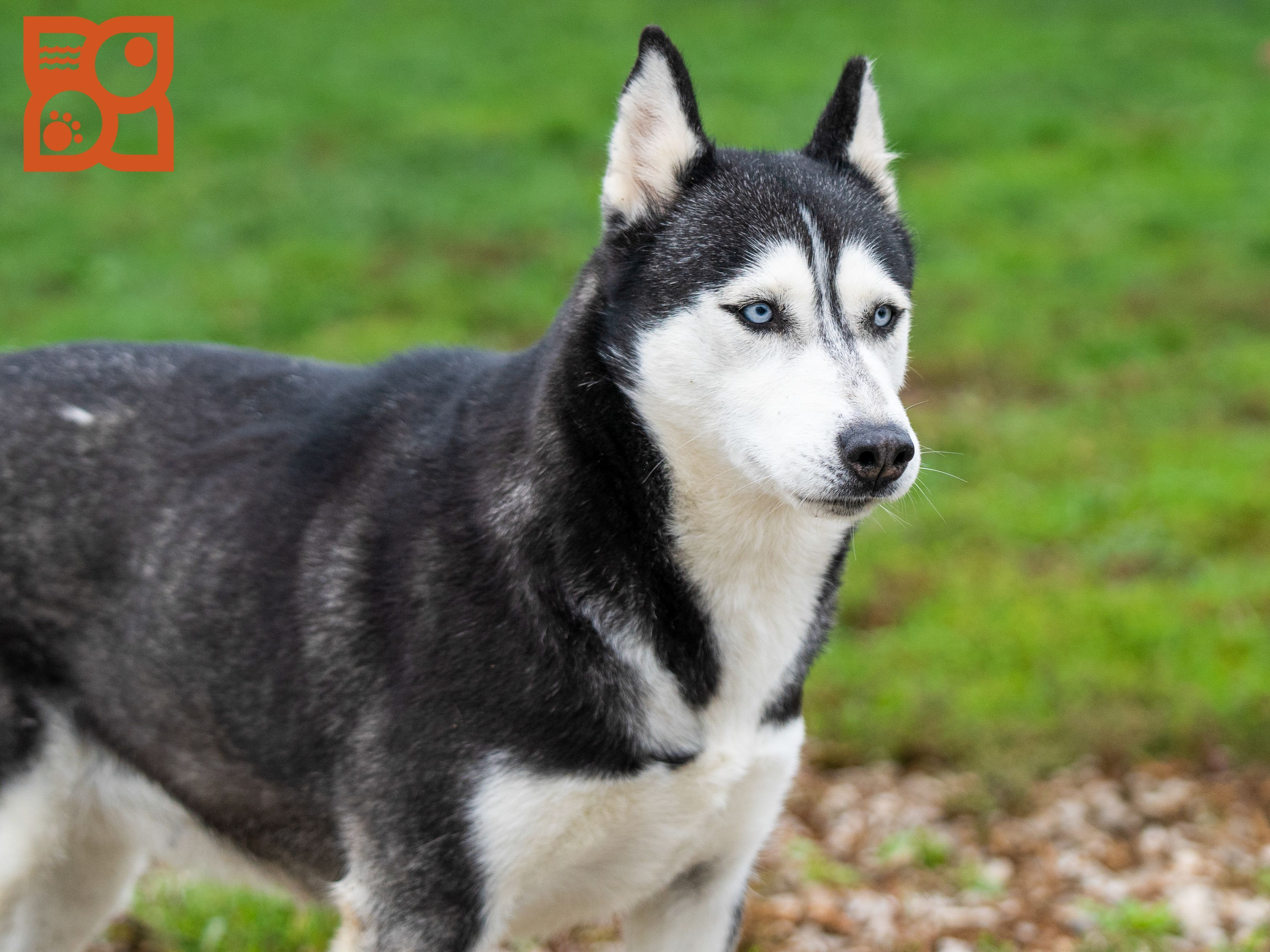 Puppies For Sale Husky Puppy Siberian Husky Puppies