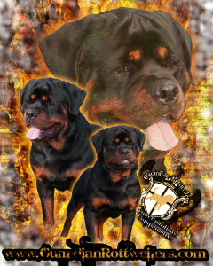 Guardian Rotweilers Rottweiler Puppies For Sale In Indiana