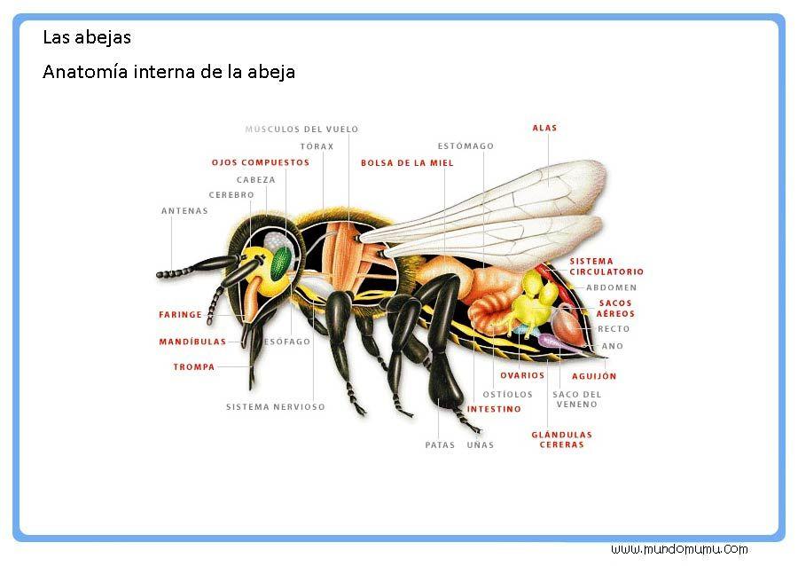 Lujoso Anatomía De La Abeja Fotos - Anatomía de Las Imágenesdel ...