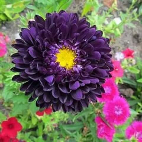 Purple flower with yellow center flowers pinterest flowers purple flower with yellow center mightylinksfo