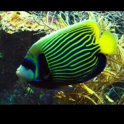 Awesome Fish Angel Fish Beautiful Sea Creatures Ocean Creatures