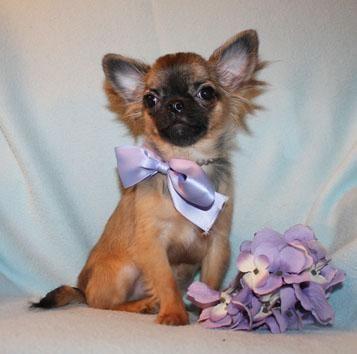 Ist er nicht süß?! Chihuahua welpen, Hundebabys, Tierheim