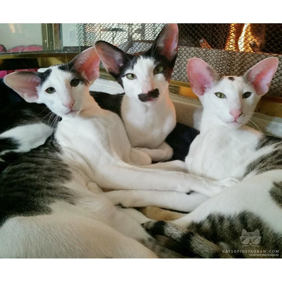 [Oriental Shorthairs The guy on the left with seemingly