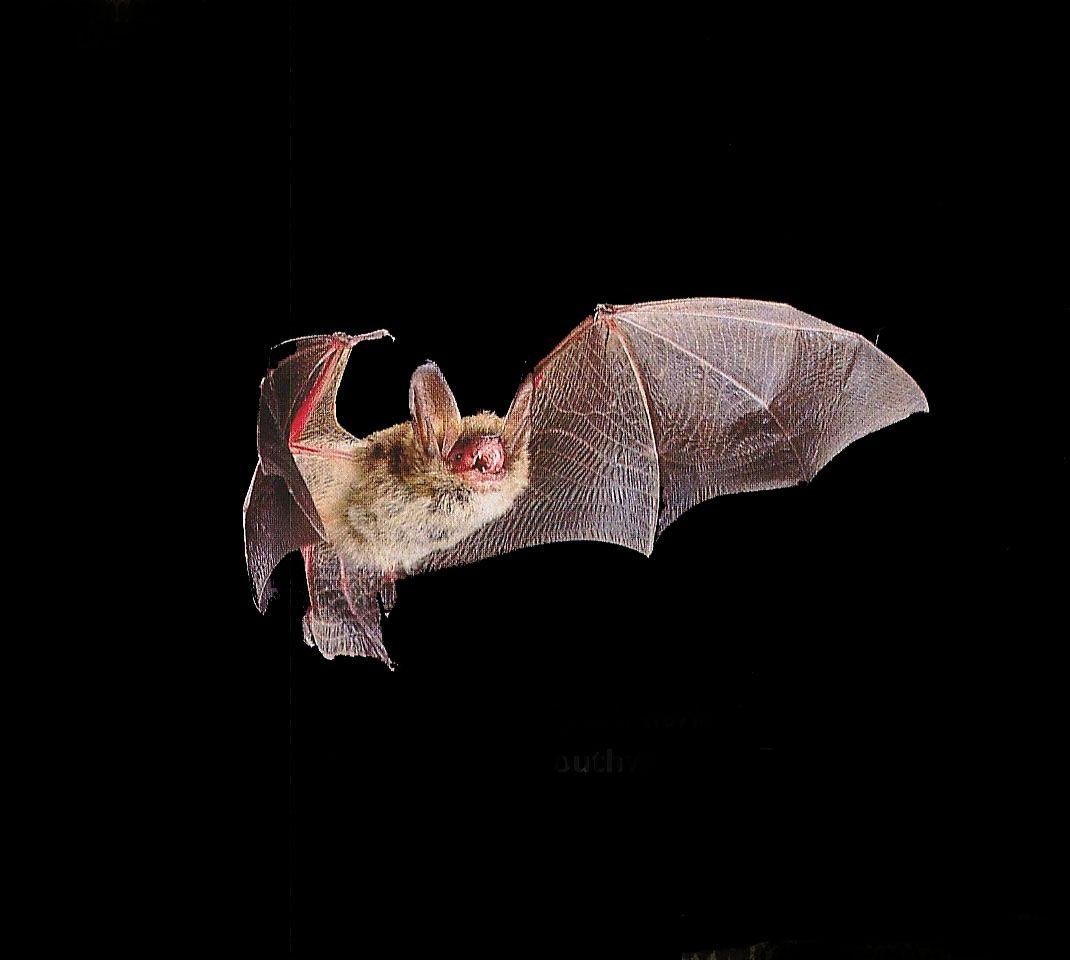bat wing anatomy google search bat pinterest bat