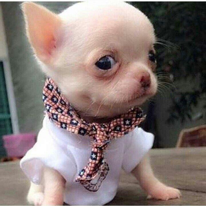 Good Chihuahua Chubby Adorable Dog - abf491313615302558a106b315745750  Graphic_944179  .jpg