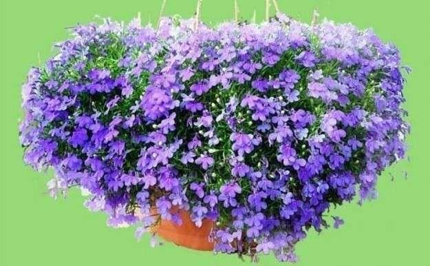 flores colgantes para balcn fotos plantas flores para exterior - Plantas Colgantes Exterior